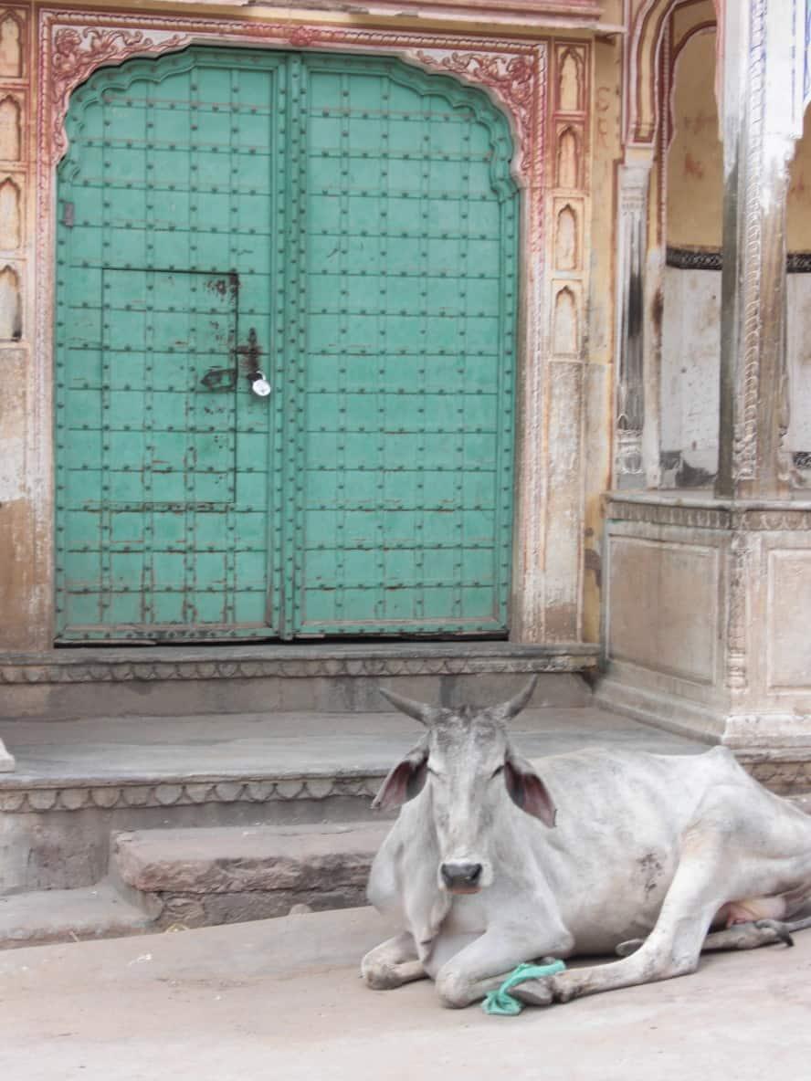 Türen und heilige Kuh in Indien
