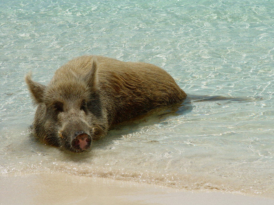 10 Best Places In The Caribbean - Swimming Pigs