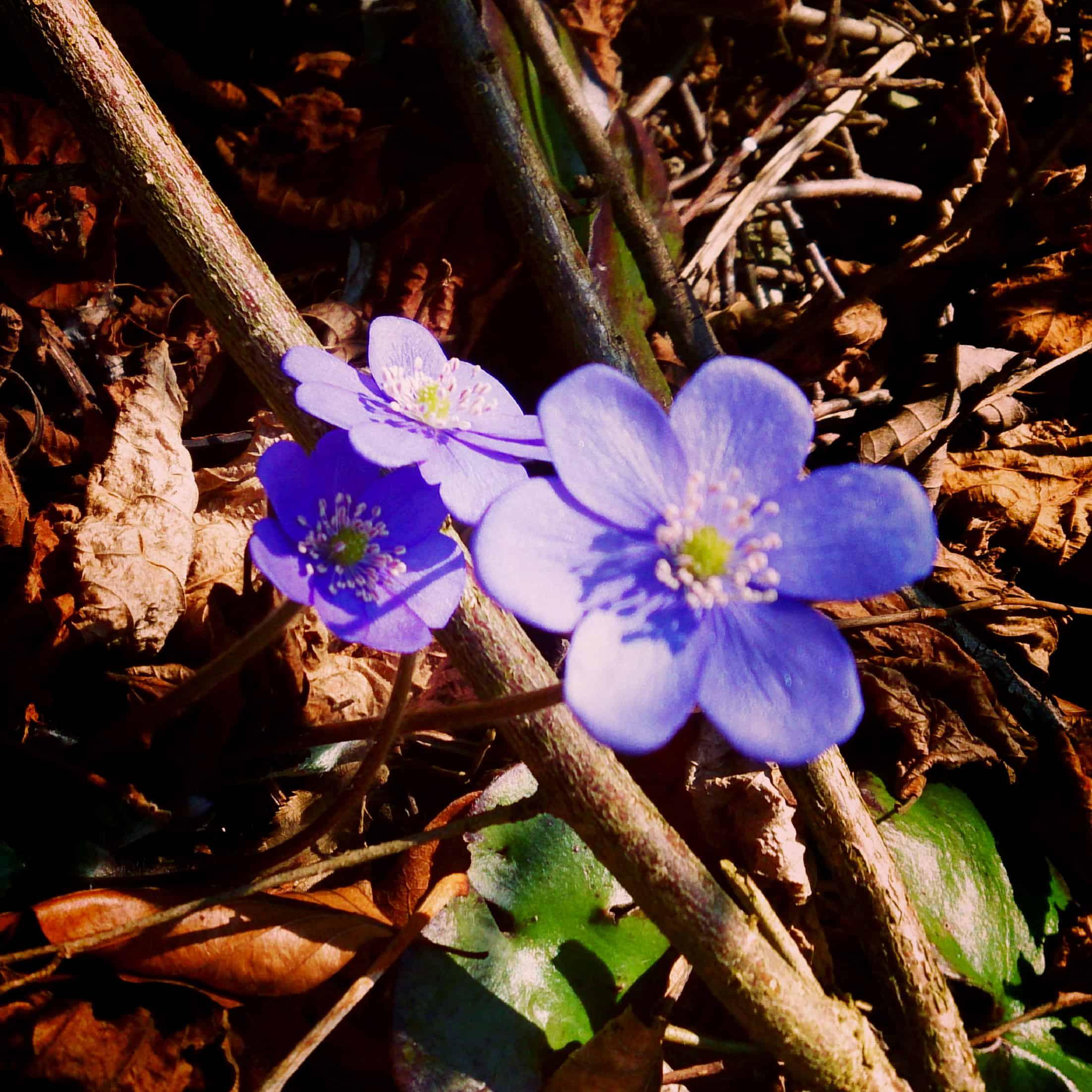 Frühlingsboten Leberblümchen