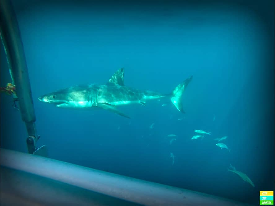 Cage Diving with White Sharks in Australia