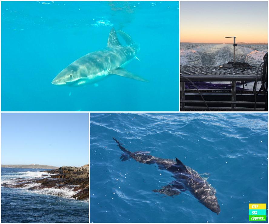 Cage diving White Sharks Australia