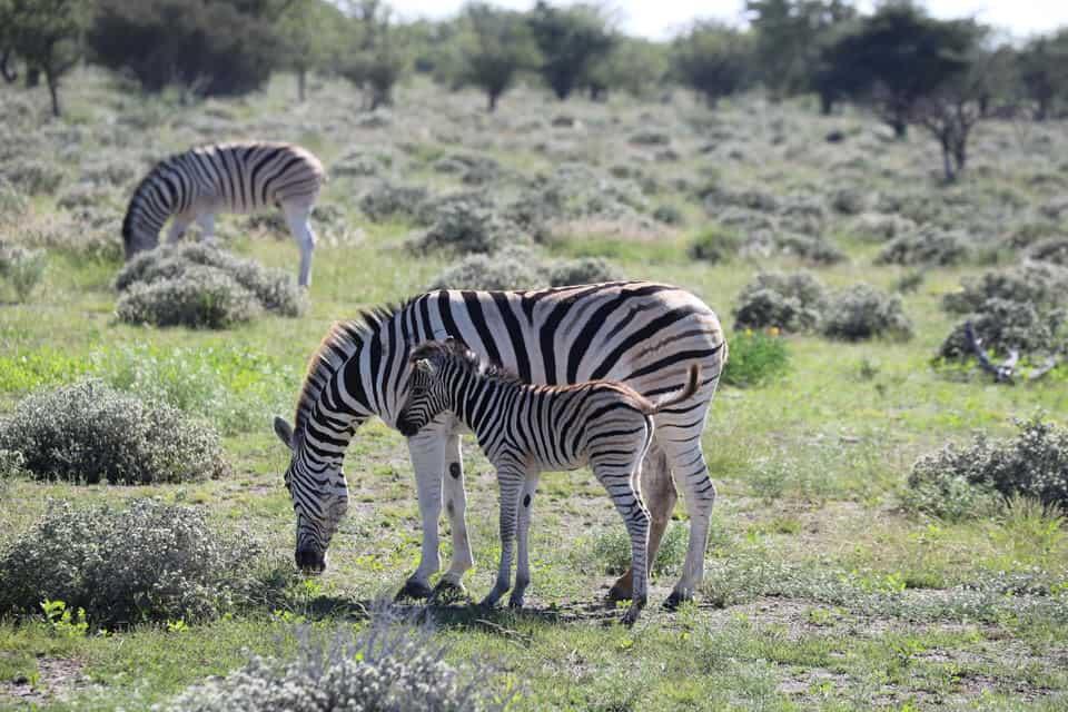 Safari im Etosha Nationalpark: Selbstfahrer oder geführte Tour?